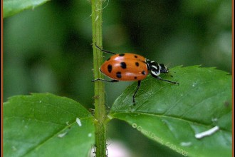 ladybird beetles in Plants