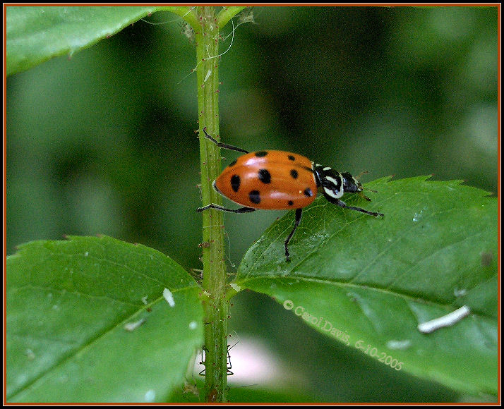 Bug , 6 Photos Of Lady Bug Beetle : Ladybird Beetles