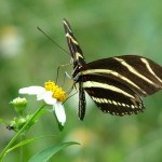 landscaping for zebra Longwing Butterfly , 5 Zebra Longwing Butterfly Facts In Butterfly Category