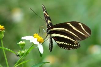 Landscaping For Zebra Longwing Butterfly , 5 Zebra Longwing Butterfly Facts In Butterfly Category