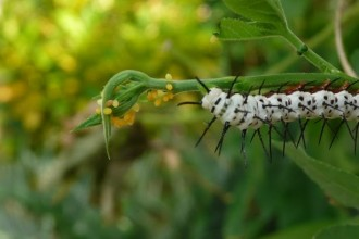Larva Of Zebra Longwing , 7 Zebra Longwing Butterfly Larvae In Butterfly Category