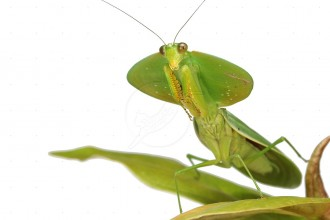 Leaf Mantis Picture , 6 Pictures Of Leaf Mantis In Orthoptera Category