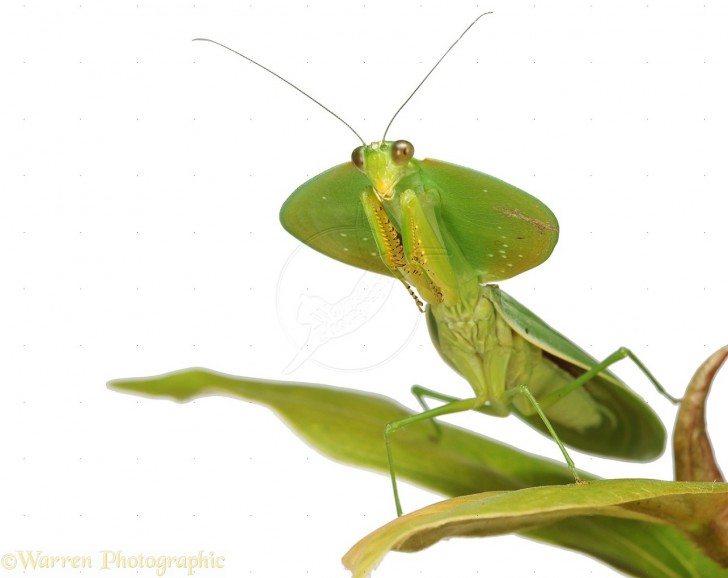 Orthoptera , 6 Pictures Of Leaf Mantis : Leaf Mantis Picture