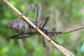 Leaf Footed Bug Picture , 6 Leaf Footed Bug Controls In Bug Category