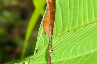 leaf mantis in Orthoptera