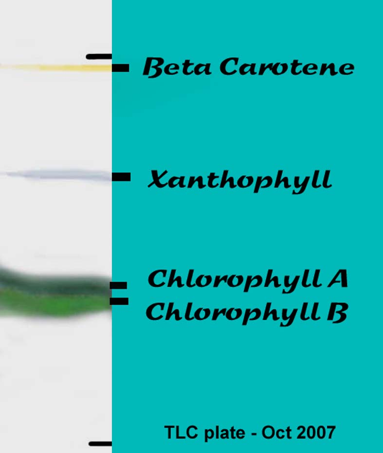 chromatography of plant pigments Most leaves are green due to chlorophyll this substance is important in photosynthesis (the process by which plants make their food) in this experiment, the different pigments present in a leaf are separated using paper chromatography.