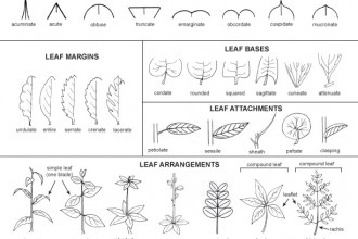 leaf tree id key in Plants