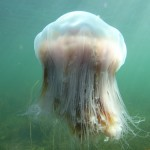 lion mane jellyfish facts , 6 Lion Mane Jellyfish Photos In Marine Category