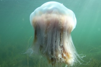 lion mane jellyfish facts in Spider