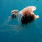 lion mane jellyfish habitat , 6 Lion Mane Jellyfish Photos In Marine Category