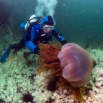 lion mane jellyfish pictures , 6 Lion Mane Jellyfish Photos In Marine Category
