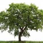 loan oak tree , 6 Oak Tree Photos In Plants Category