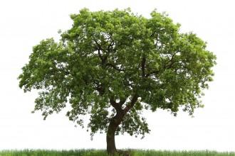 Loan Oak Tree , 6 Oak Tree Photos In Plants Category