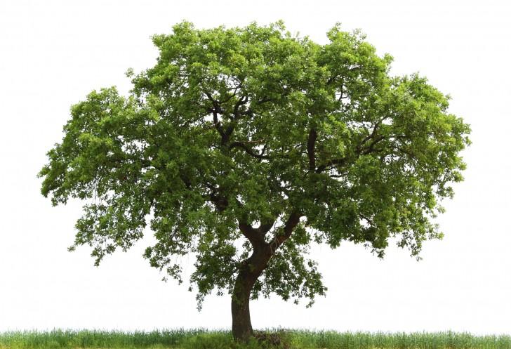 Plants , 6 Oak Tree Photos : Loan Oak Tree