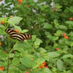 long live the zebra longwing butterfly , 6 Zebra Longwing Butterfly Predators In Butterfly Category