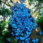 blue Butterflies species , 6 Blue Morpho Butterfly Species Photos In Butterfly Category