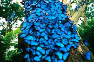 blue Butterflies species in Human