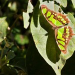 malachite butterfly at Frontera , 7 Malachite Butterfly Facts In Butterfly Category