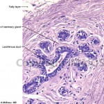 mammary gland histology , 6 Photos Of Anatomy Histology In Cell Category