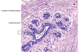 Mammary Gland Histology , 6 Photos Of Anatomy Histology In Cell Category