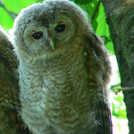 many interesting facts tawny owl , 6 Owl Interesting Facts In Birds Category