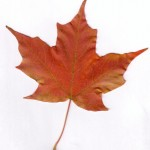 maple leaf , 7 Maple Leaf Photos In Plants Category