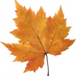 maple leaf gold , 7 Maple Leaf Photos In Plants Category