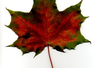 Maple Leaf Image , 7 Maple Leaf Photos In Plants Category