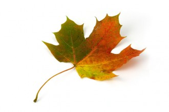 Maple Leaf Photo , 7 Maple Leaf Photos In Plants Category