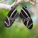 mating zebra longwing butterflies , 8 Photos Of Zebra Longwing Butterfly Mating In Butterfly Category