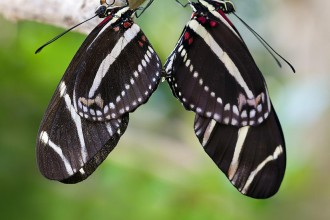 mating zebra longwing butterflies in Plants