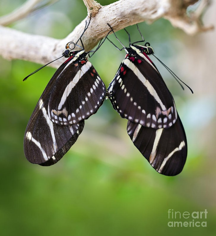 Butterfly , 8 Photos Of Zebra Longwing Butterfly Mating : Mating Zebra Longwing Butterflies