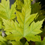 minorly chlorotic leaf autumn blaze maple , 7 Maple Leaf Lawn Care In Plants Category