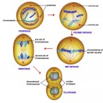mitosis process illustration , 4 Structures Involved In Mitosis In Animal Cells In Cell Category