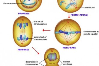 mitosis process illustration in Genetics
