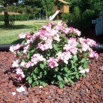 nearly wild rose , 8 Pruning Wild Roses In Plants Category