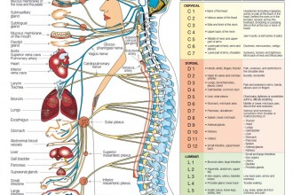 nervous system disgrams in Brain