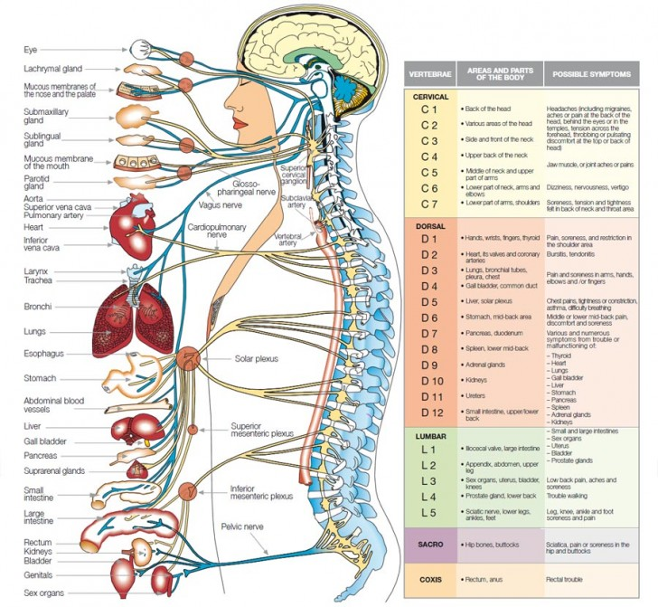 Brain , 6 Nervous System Diagrams : Nervous System Disgrams