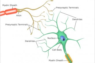 neurons synapse structures in Dog