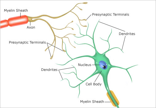 neurons synapse structures