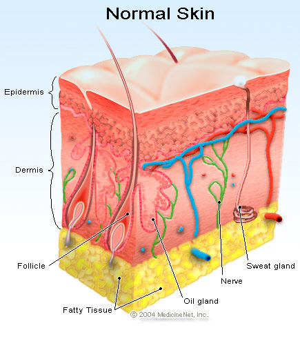 Organ , 5 Structure Of Skin For Kids : Normal Skin Structure