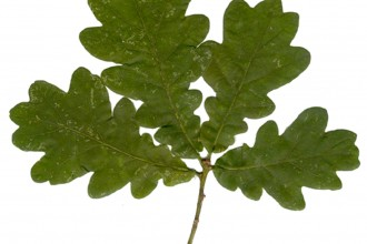 Oak Tree Leaf , 6 Oak Tree Leaves In Plants Category