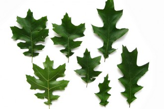 oak tree leaf identification in Scientific data