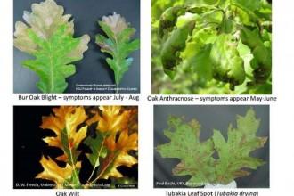 Oak Tree Leaf Identification Chart , 4 Oak Tree Leaf Identification Key In Plants Category