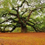 oak tree photos , 6 Oak Tree Photos In Plants Category