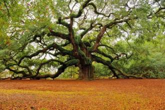 Oak Tree Photos , 6 Oak Tree Photos In Plants Category