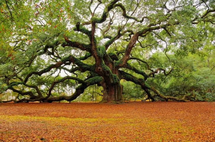 Plants , 6 Oak Tree Photos : Oak Tree Photos