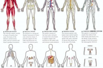 Organ Systems Of The Human Body , 6 Pictures Of Organ Systems In Organ Category