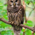 owl , 7 Owl Pictures In Birds Category
