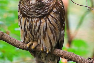 owl in Mammalia